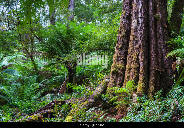Dicksonia antarctica Rain forest at Melba Gully State Park, Great Otway National Park, Vitoria, Australia. - Stock Image