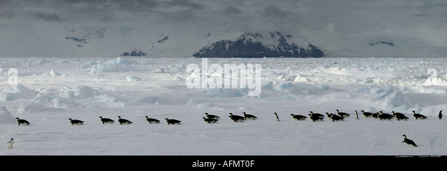 emperor penguins on their way to How do emperor penguins hunt emperor penguins hunt for fish and other  marine life in the open seas or in cracks in the ice they can dive to depths of  almost.