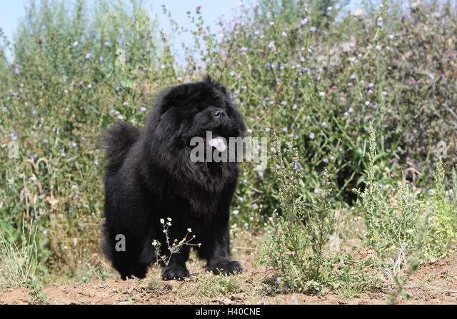 chow chow lion black - photo #30