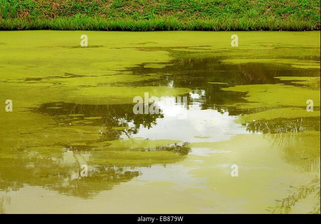 Cladophora stock photos cladophora stock images alamy for Algae in fish pond