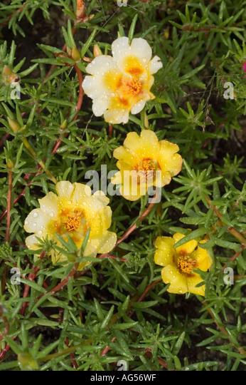 Portulacaceae Stock Photos & Portulacaceae Stock Images ...