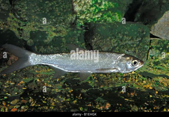 Asp predatory freshwater fish stock photos asp predatory for Predatory freshwater fish