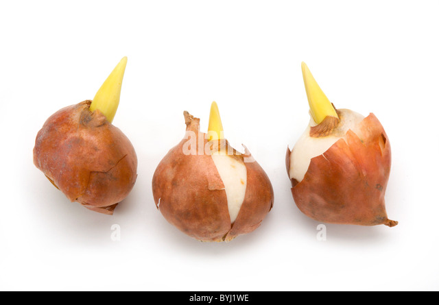 Image gallery tulip bulbs for Tulipe bulbe