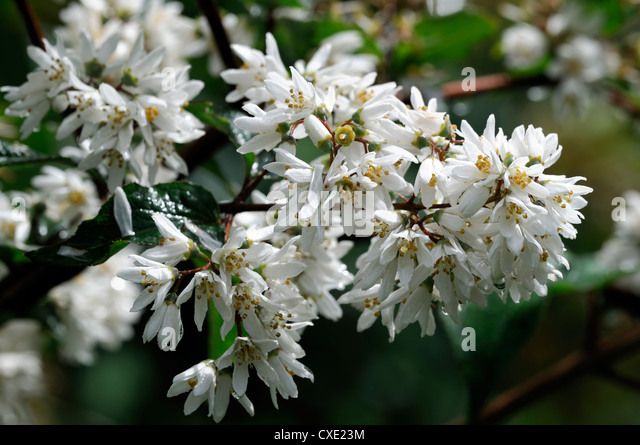 White flowering shrubs stock photos white flowering for White flowering bush