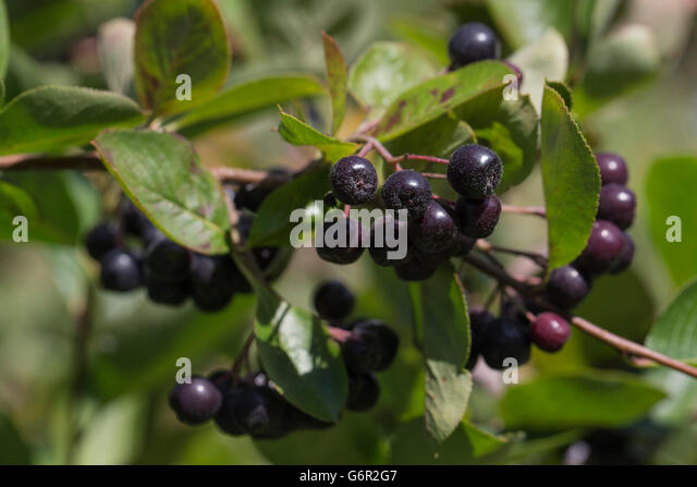black chokeberry aronia melanocarpa stock photos black chokeberry aronia melanocarpa stock. Black Bedroom Furniture Sets. Home Design Ideas
