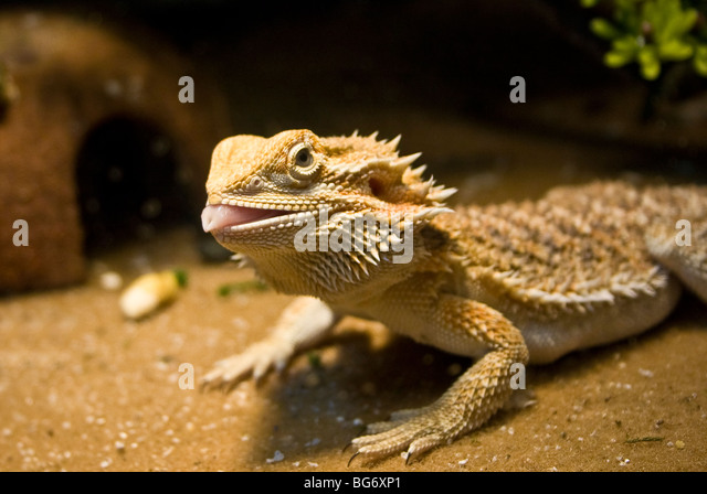 bearded dragon licking lips