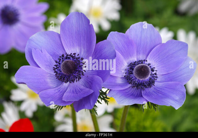 anemone coronaria de caen stock photos anemone coronaria. Black Bedroom Furniture Sets. Home Design Ideas