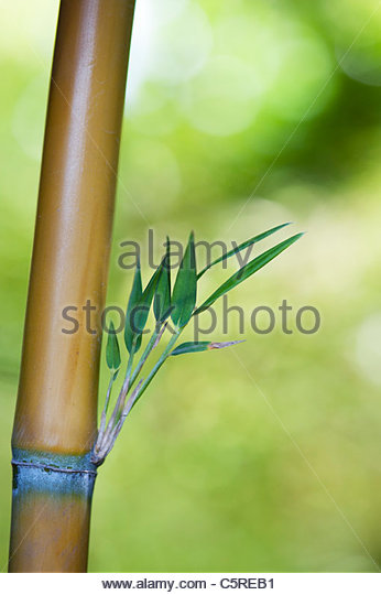 how to kill bamboo canes