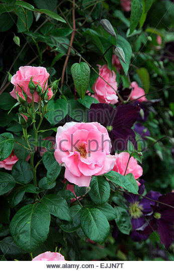 clematis clematis rose rosa stock photos clematis. Black Bedroom Furniture Sets. Home Design Ideas
