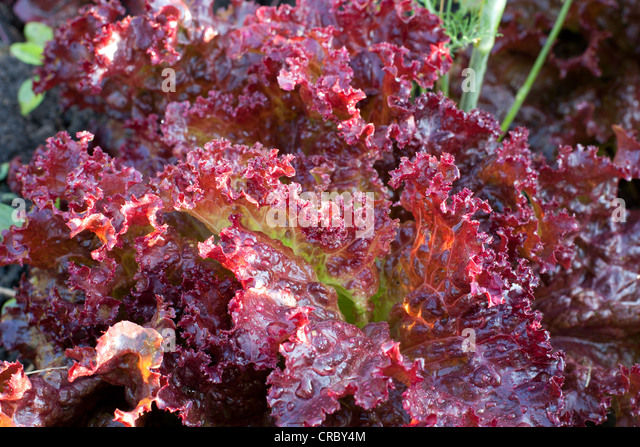 lollo rosso lettuce stock photos lollo rosso lettuce stock images alamy. Black Bedroom Furniture Sets. Home Design Ideas