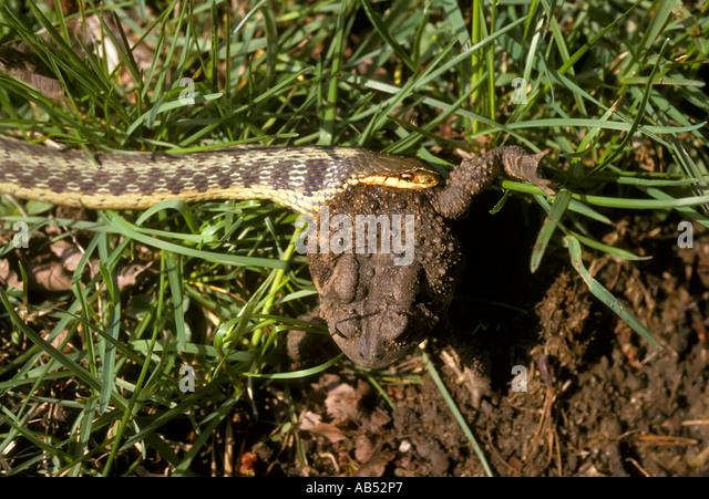 Snake Eating Stock Photos Snake Eating Stock Images Alamy