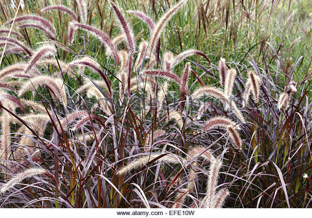 Pennisetum Setaceum Rubrum Red Fountain Grass Pictures to pin on ...