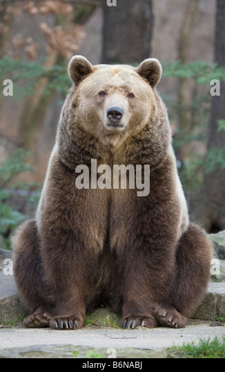Grizzly bear sitting up - photo#45