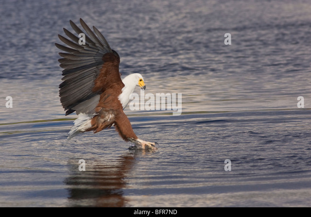 how to catch eagle bird