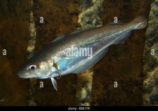 poor cod trisopterus minutus in sea kelp stock image
