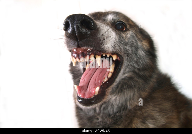 baring teeth dog. a dog with snarling teeth and white background - stock image baring