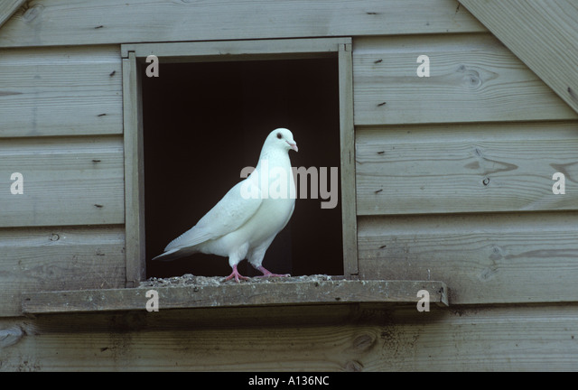 Fantail Dove Stock Photos & Fantail Dove Stock Images - Alamy