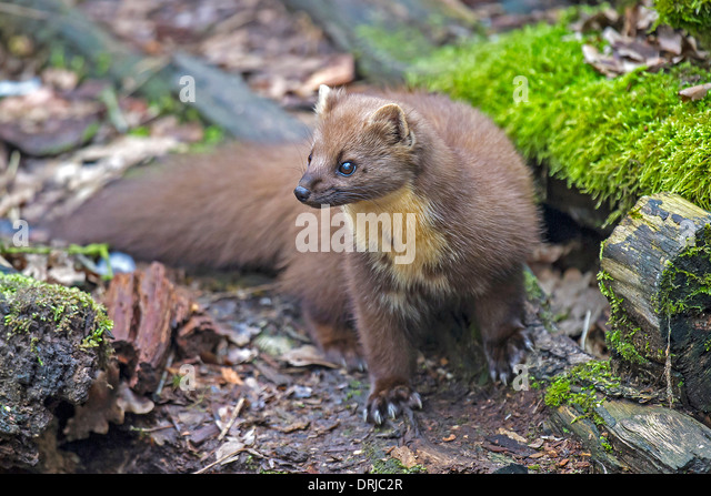 baummarder european pine marten stock photos baummarder european pine marten stock images alamy. Black Bedroom Furniture Sets. Home Design Ideas
