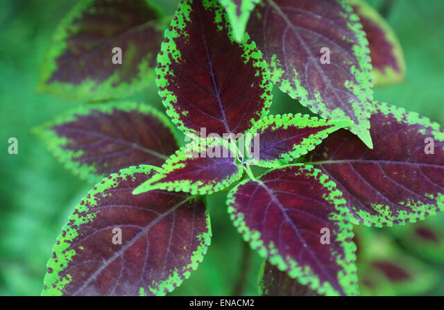 coleus stock photos  coleus stock images  alamy, Natural flower