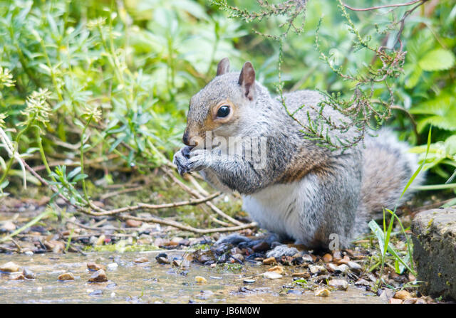 Sevenoaks, UK. 9th June, 2017. This cheeky rodent decided to test the effectiveness of a squirrel proof bird feeder - Stock Image