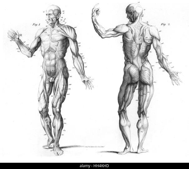 muscular system cut out stock images & pictures - alamy, Muscles