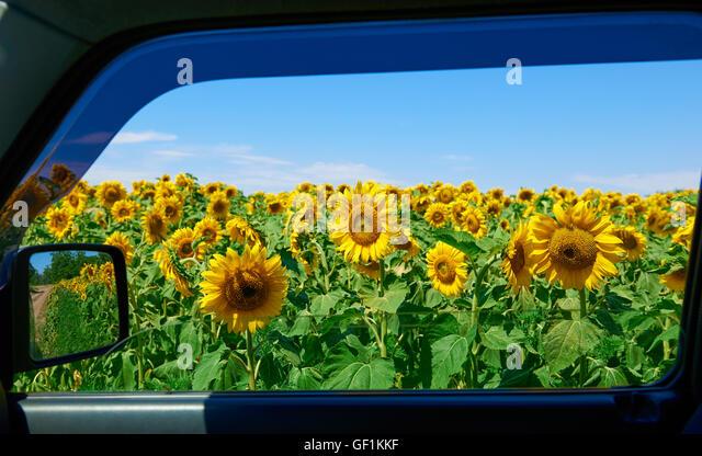 Sunflower Field And Car Stock Photos Sunflower Field And Car