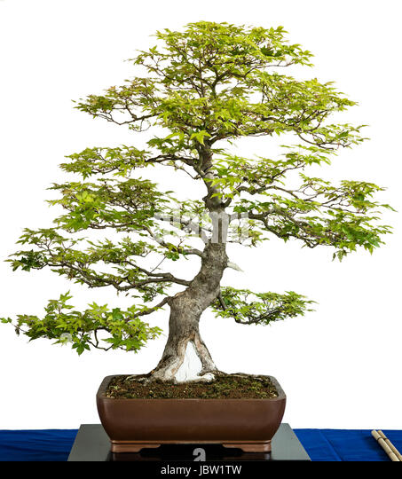 bonsai baum stock photos bonsai baum stock images alamy. Black Bedroom Furniture Sets. Home Design Ideas