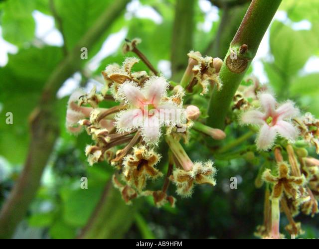 Quinine Bark, Yellow Quinine, Yellow Quinine Bark Cinchona officinalis ...