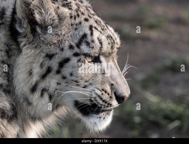Snow leopard face side - photo#42
