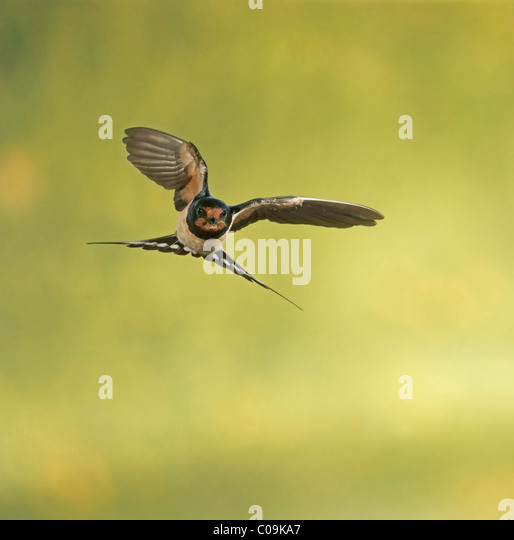 Barn Swallow Flight Stock Photos & Barn Swallow Flight