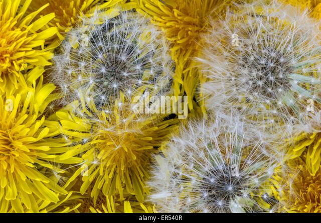contemporary dandelion head floral - photo #37
