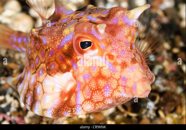 juvenile longhorn cowfish lactoria cornuta lembeh strait sulawesi indonesia pacific