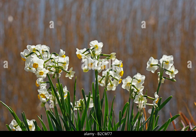 narcissus flower plant yellow stock photos narcissus  daffodils by a lake chiba stock image