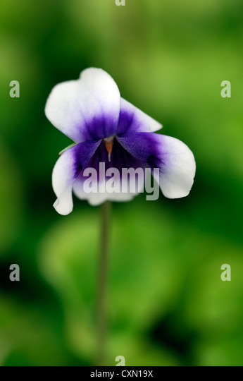 white groundcover stock photos  white groundcover stock images, Beautiful flower