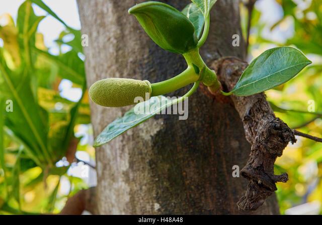 a jackfruit stock photos amp a jackfruit stock images alamy
