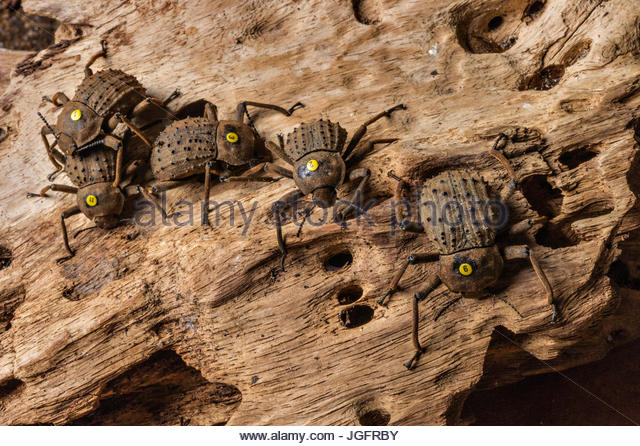 Flightless beetles, numbered by scientists, were threatened when rats reached the island resort of Fregate. - Stock Image