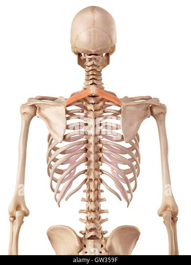 Human Back Bones Stock Photos Human Back Bones Stock Images Page
