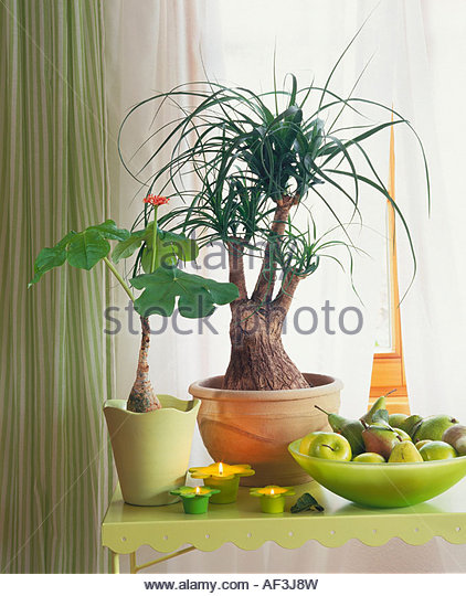 Bottle tree indoor plant stock photos bottle tree indoor plant stock images alamy - Interesting house plants ...