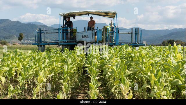 tobacco harvesting machine