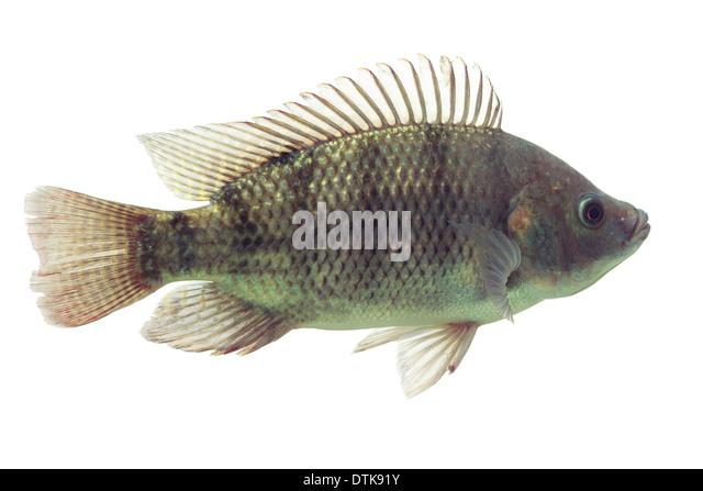 Oreochromis stock photos oreochromis stock images alamy for Tilapia aquarium