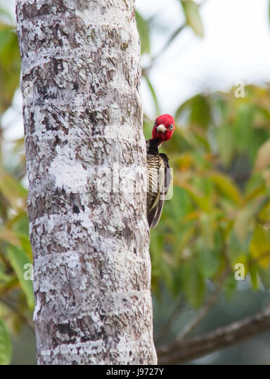Pale-billed Woodpecker clinging to a tree - Stock Image