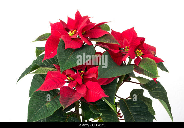 popular christmas plant stock photos  popular christmas plant, Natural flower