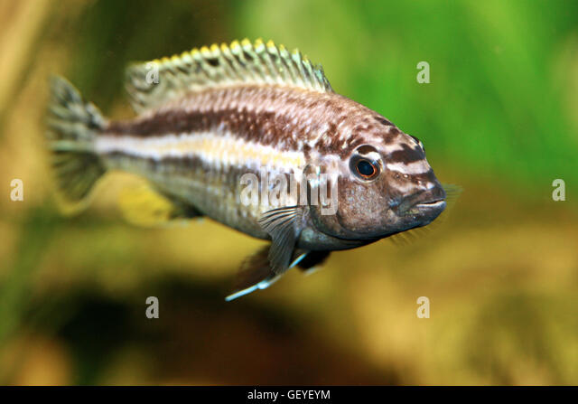 Cichlid African Stock Photos Cichlid African Stock