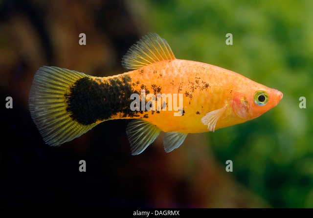 southern platyfish (Xiphophorus maculatus), breed Pepper & Salt Red ...
