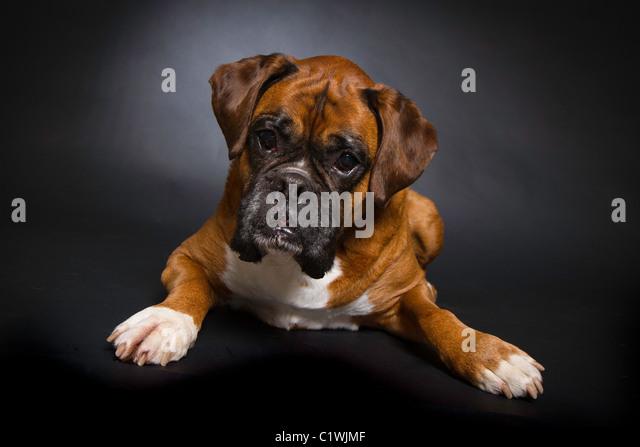 Angry boxer dog teeth - photo#20