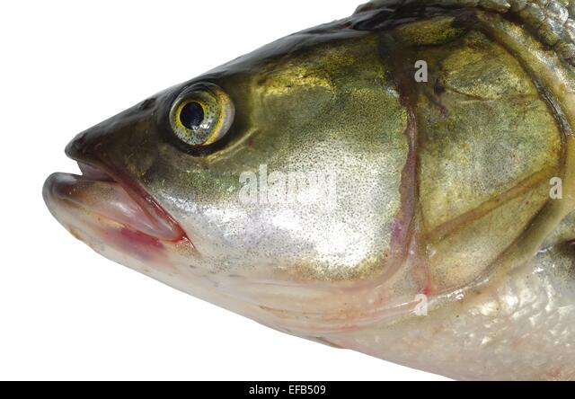 Asp stock photos asp stock images alamy for Predatory freshwater fish