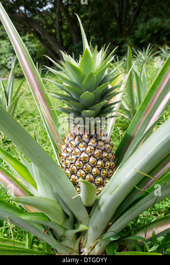 pineapple plant stock photos pineapple plant stock images alamy. Black Bedroom Furniture Sets. Home Design Ideas