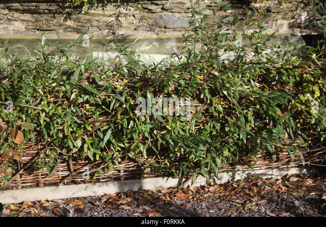 Living willow fence round raised bed   Stock ImageWillow Fence Stock Photos   Willow Fence Stock Images   Alamy. Living Willow Fence Panels. Home Design Ideas