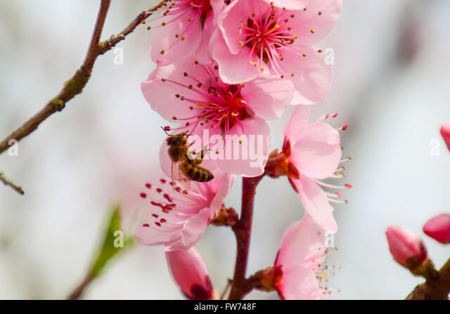 Peach Blossoms Flowering Stock Photos Images Alamy