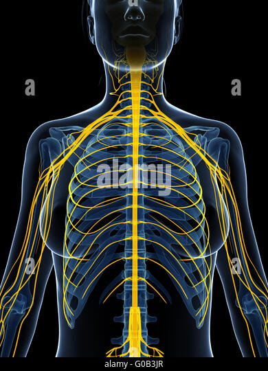 Nervous system diagram stock photos nervous system diagram stock 3d rendered illustration of the female nervous system ccuart Choice Image